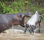 Hippopotamus attacking wildebeast