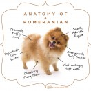 Anatomy-of-a-Pomeranian